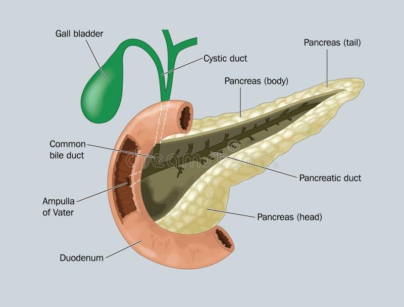 O pâncreas ilustração stock