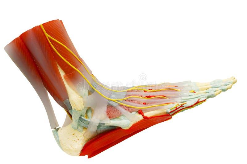 O pé direito humano muscles a anatomia isolado com trajeto de grampeamento imagens de stock