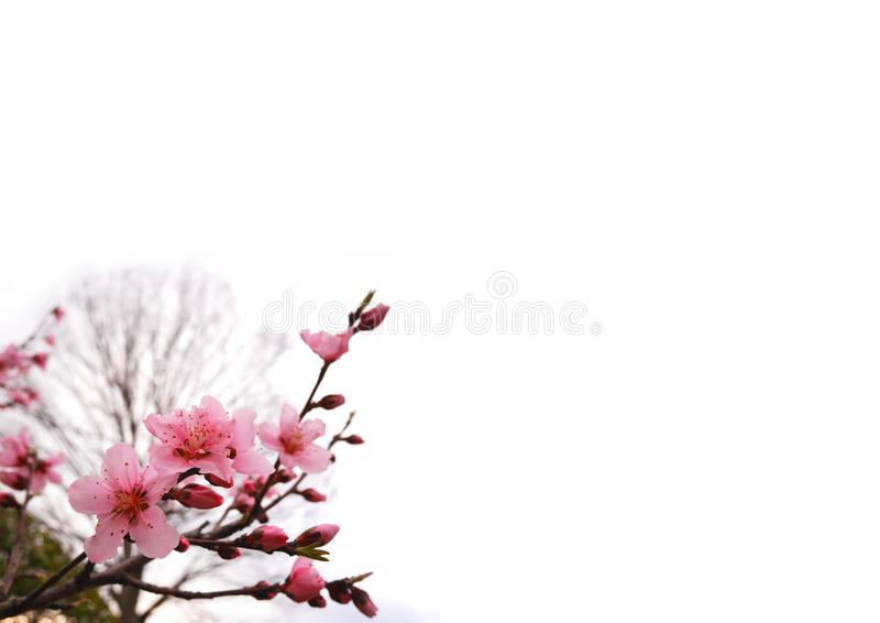 O pêssego cor-de-rosa floresce na mola, no inferior esquerdo isolada no fundo branco imagem de stock royalty free