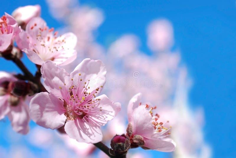 O pêssego floresce flor foto de stock royalty free