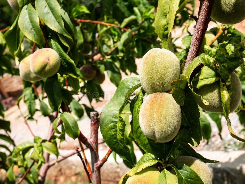 O pêssego frutifica verde de Prunus Persica em ramos de árvore fotos de stock royalty free