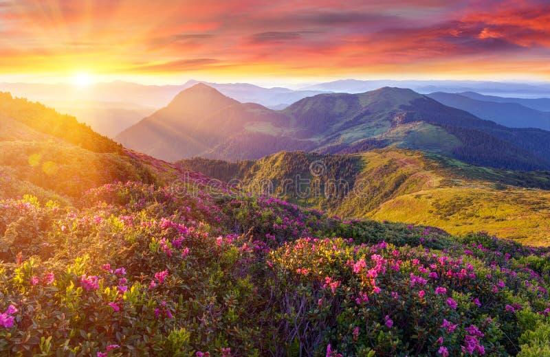 O pôr do sol colorido surpreendente nas montanhas com luz solar majestosa e rododendro cor-de-rosa floresce no primeiro plano Cen foto de stock royalty free