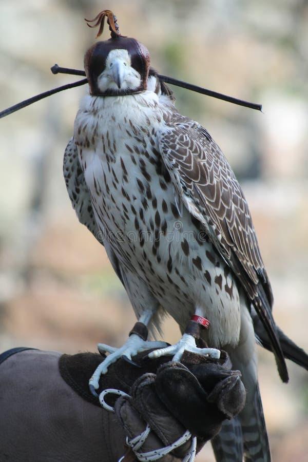 O p?ssaro de Pray Um falcão em alimentadores entrega imagens de stock
