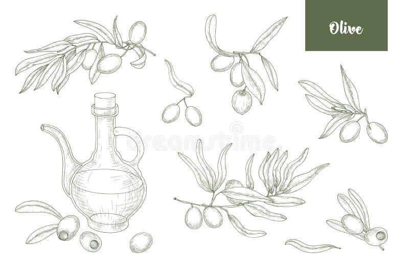 O pacote de ramos de oliveira com folhas, os frutos ou as drupas e o óleo virgem extra no jarro de vidro entregam tirado com ilustração stock