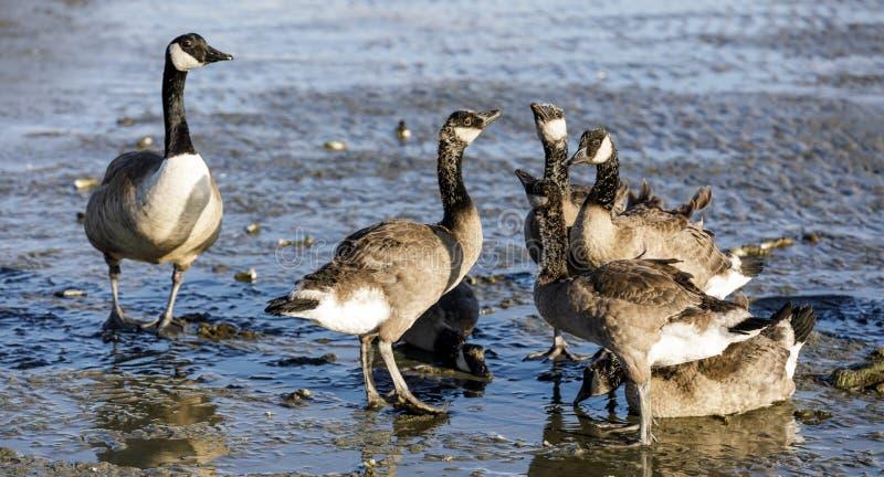 O pai do ganso de Canadá olha sobre os novos foto de stock royalty free