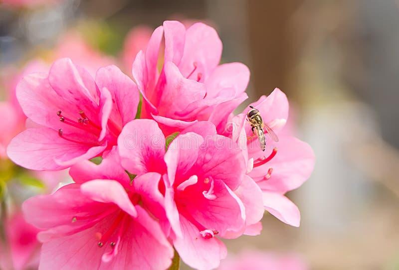 O pairo das moscas do pairo arquiva o macro na natureza verde ou no jardim imagem de stock