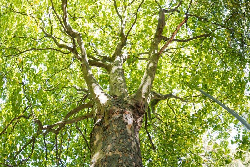 O panorama do dossel de árvore deixa a natureza verde superior da luz solar foto de stock