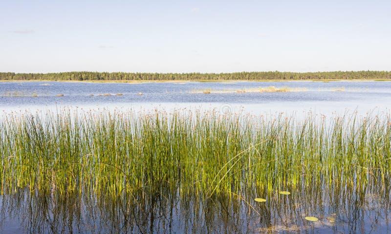 O panorama do junco verde cresce em um lago foto de stock