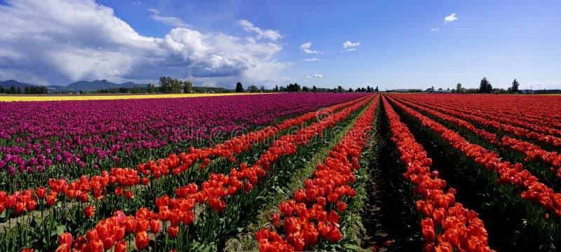 O panorama do tulipas coloridas coloca fotos de stock