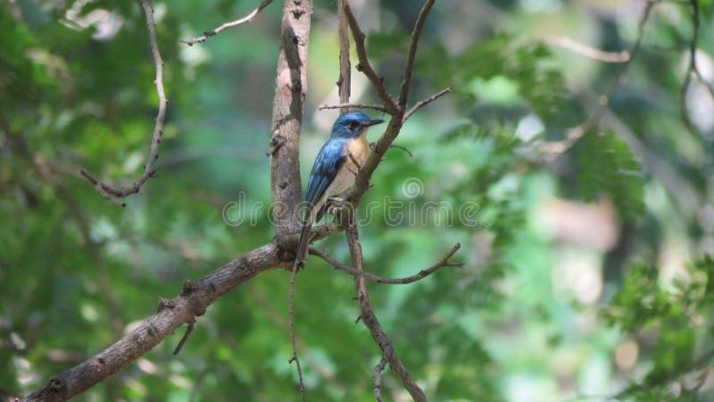 O papa-moscas azul do monte que senta-se em uma árvore foto de stock royalty free