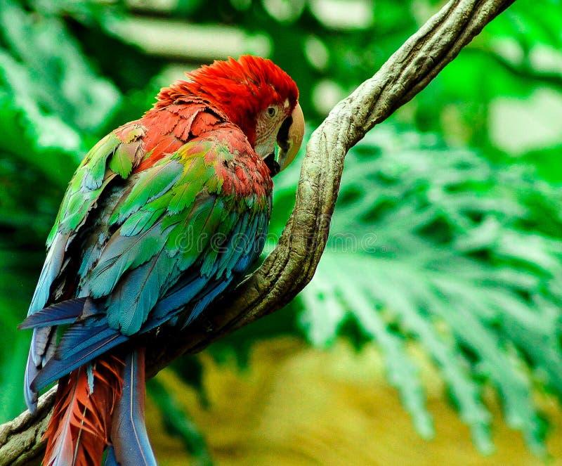 O papagaio imagens de stock royalty free
