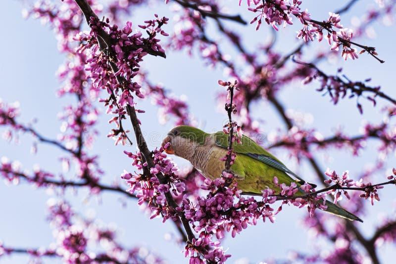 O papagaio anel-necked bonito selvagem do periquito come as flores cor-de-rosa da ?rvore do Judas imagens de stock