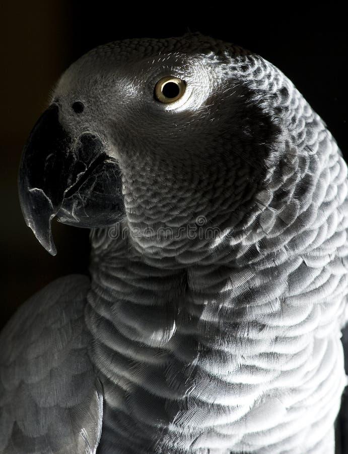 O papagaio do cinza africano imagem de stock