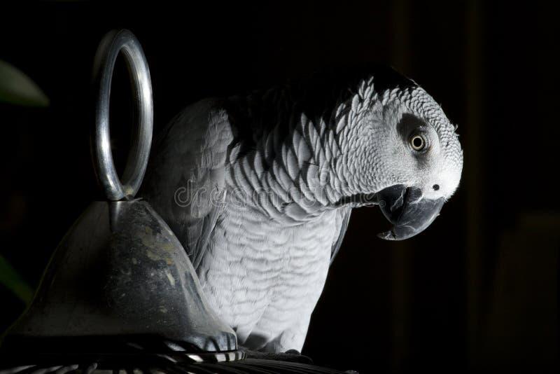 O papagaio do cinza africano fotos de stock royalty free