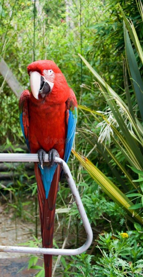 O papagaio do macaw empoleirado em uma filial imagem de stock