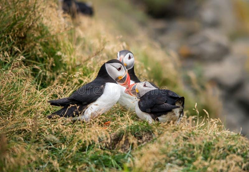 O papagaio-do-mar atlântico, igualmente conhecido como o papagaio-do-mar comum fotos de stock