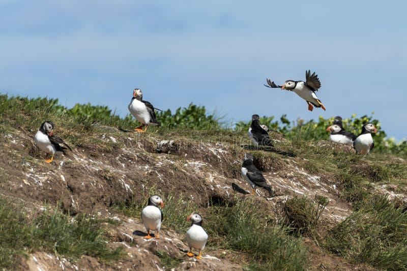 O papagaio-do-mar entra o amonget da terra a colônia imagens de stock