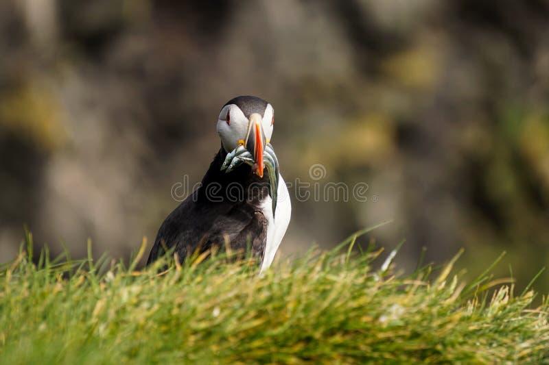 O papagaio-do-mar icônico em Islândia imagens de stock