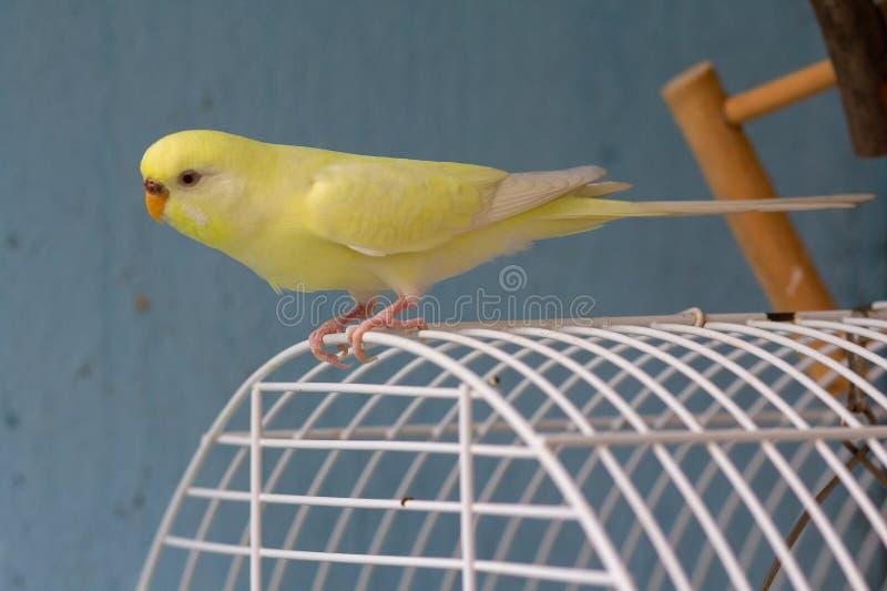 O papagaio ondulado amarelo senta-se em uma gaiola fotografia de stock royalty free