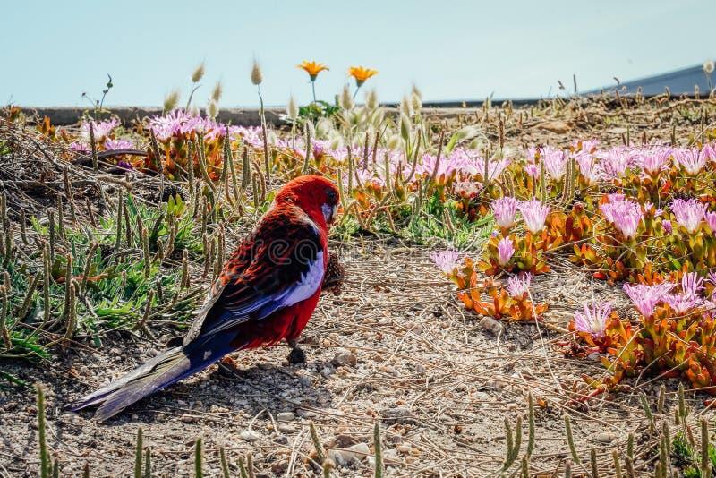 O papagaio vermelho que anda esfrega completamente a terra imagem de stock royalty free