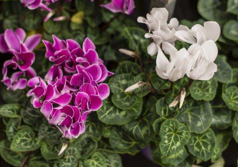 O papel de parede do persicum colorido do cíclame floresce a vária cor com folhas verdes foto de stock