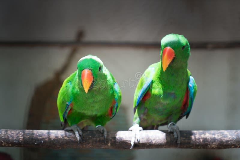 O par de periquito vermelho verde Alexandrine Parakeet repete mecanicamente o perchi imagens de stock