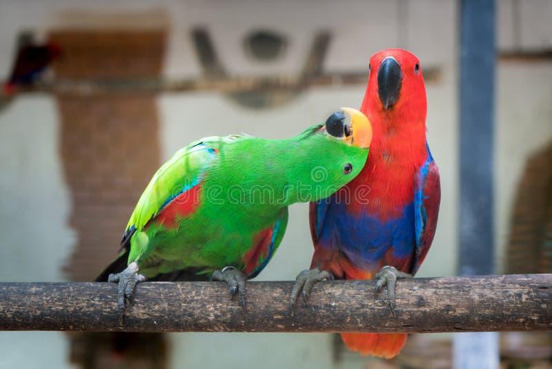 O par de periquito vermelho verde Alexandrine Parakeet repete mecanicamente o perchi imagem de stock royalty free