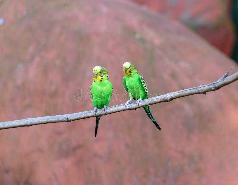 O par de periquitos australianos da coloração natural está sentando-se em um ramo fotografia de stock