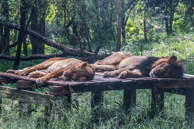 O par do leão dorme na plataforma de madeira foto de stock