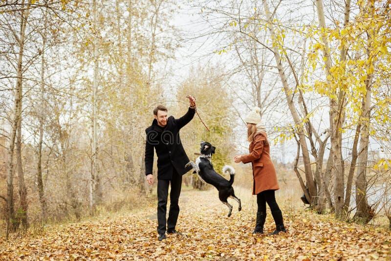 O par no amor em um dia morno do outono anda no parque com um spaniel alegre do cão Amor e ternura entre um homem e uma mulher fotografia de stock royalty free