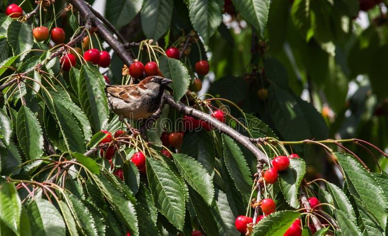 O pardal come a colheita da cereja doce imagens de stock