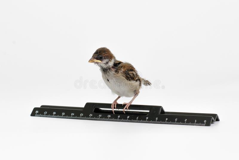 O pardal do filhote de passarinho com uma régua olha para baixo, isolado no CCB branco imagens de stock royalty free