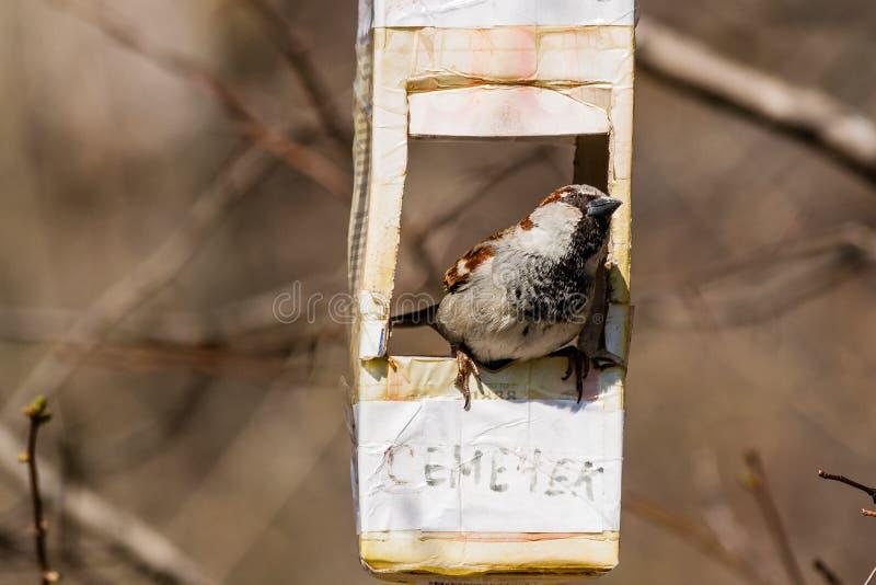 O pardal voou no alimentador do pássaro foto de stock royalty free