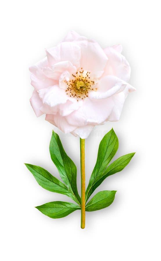 O parque incomum combinado da flor aumentou O parque cor-de-rosa aumentou com folhas da peônia Objeto da arte em um fundo branco foto de stock royalty free