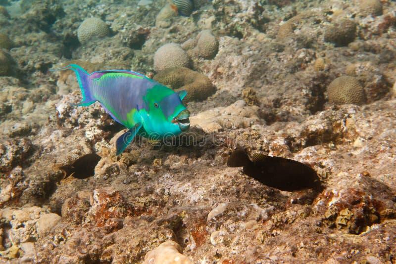 O parrotfish obscuro é subaquático imagens de stock