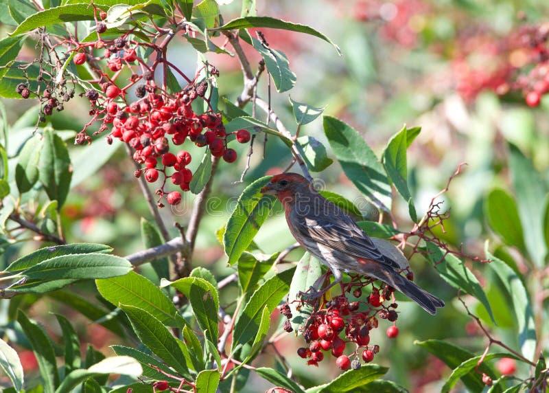 O passarinho de casa masculino empoleirou-se em um arbusto da baga, comendo fotos de stock