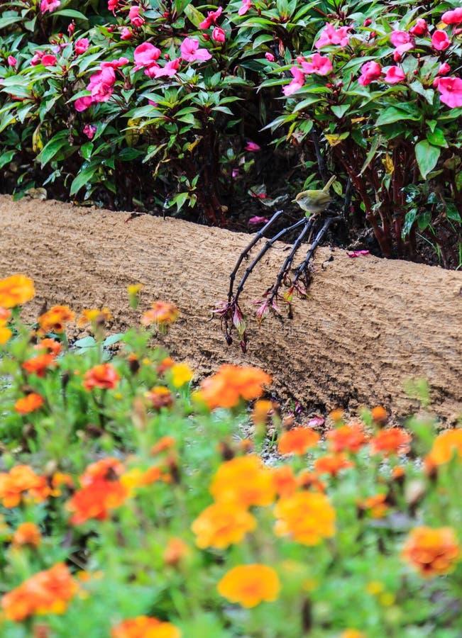 O Passerine Castanha-tomado partido fêmea pequeno da toutinegra, pássaro empoleirando-se empoleira-se no canteiro de flores no ja fotos de stock royalty free