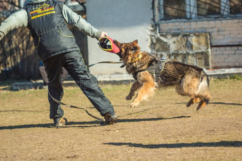 O pastor alemão agarrou sua mão no alimentador de cão do treinamento Gomel, fotos de stock royalty free