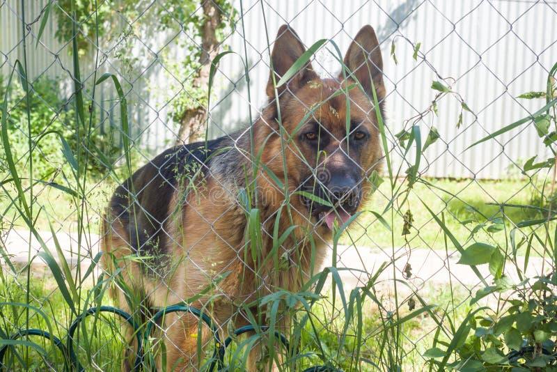 O pastor alemão olha através da cerca e da grama foto de stock