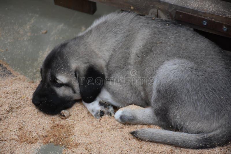 O pastor anatólio Dog Turkey do cão de Sivas Kangal foto de stock