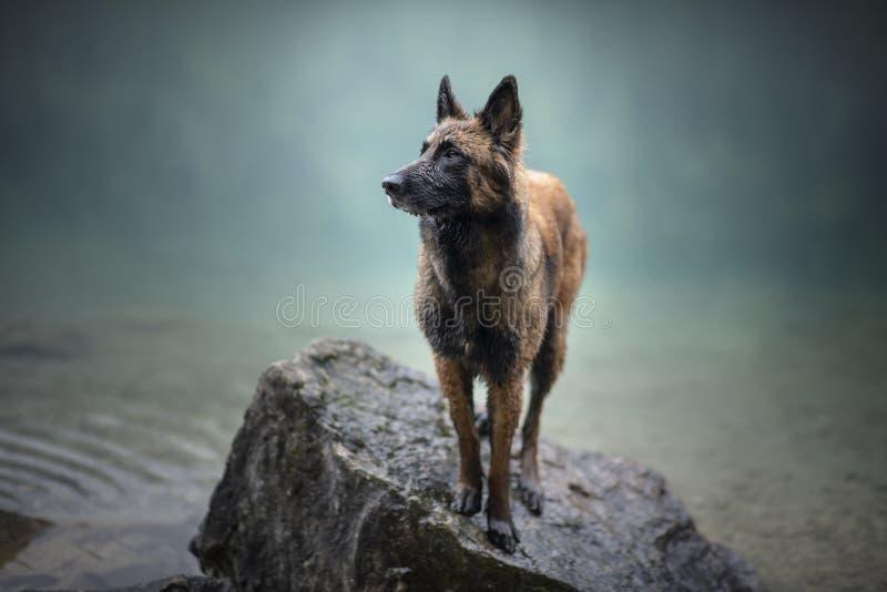 O pastor belga está estando na água Cão em um cenário da montanha com humor nevoento Caminhar com equipa o melhor amigo ao lago fotos de stock royalty free