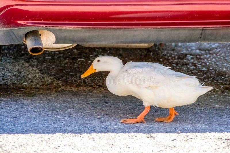 O pato branco está encontrando o abrigo debaixo de um carro foto de stock