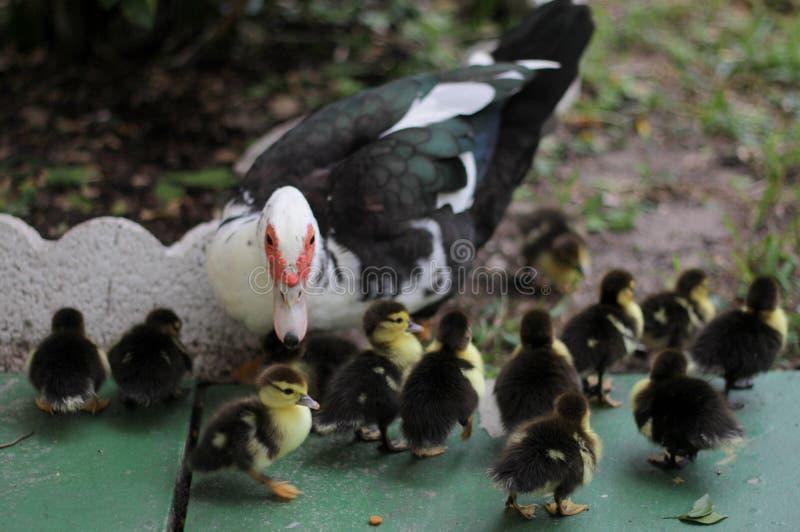 O pato de muscovy fêmea olha sobre novo foto de stock royalty free