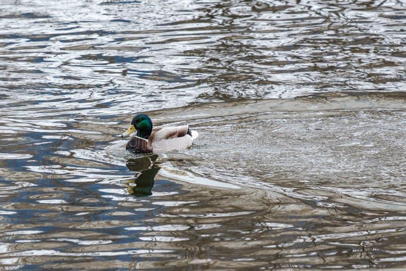 O pato do pato desliza com a onda de água e a reflexão da água imagem de stock royalty free