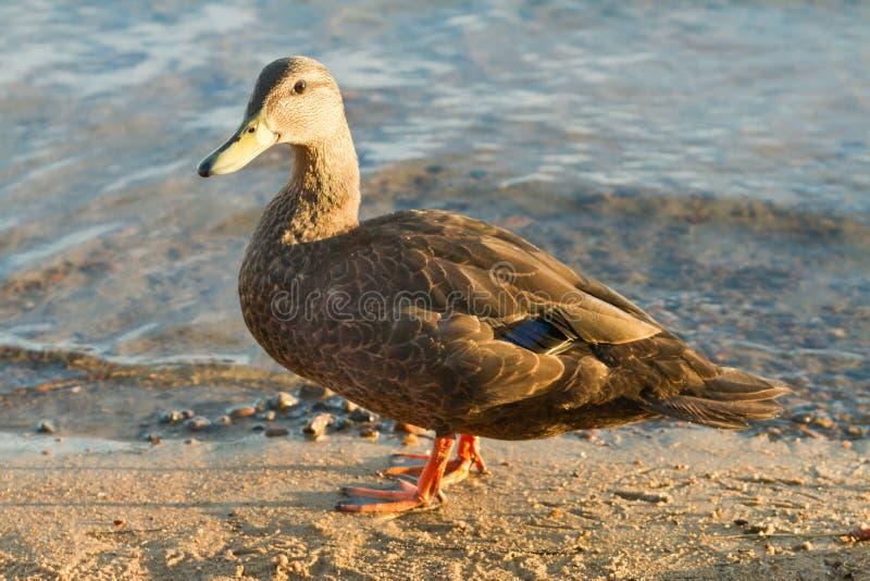 O pato do pato selvagem anda ao longo da borda de um lago fotografia de stock royalty free