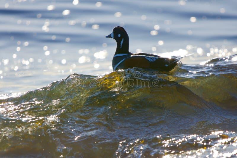 O pato masculino do arlequim monta uma onda de quebra ao longo da costa, retroiluminada pelo sol fotos de stock