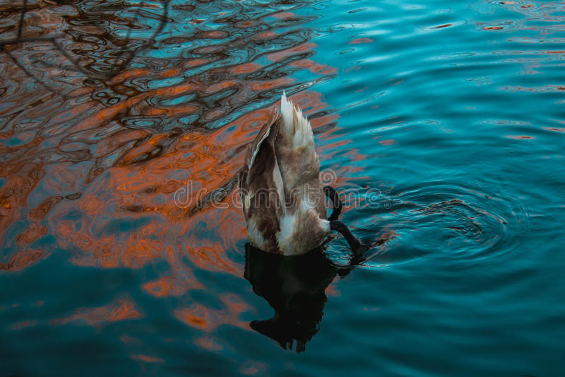 O pato mergulhou sua cabeça sob a água fotos de stock royalty free