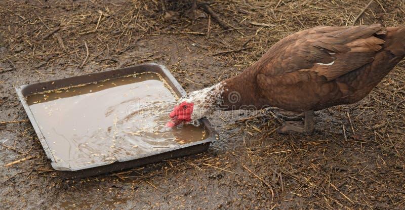 O pato musky fotografia de stock