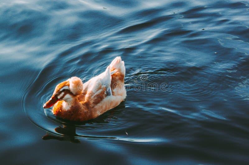 O pato nada no lago imagem de stock