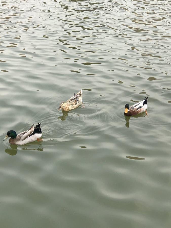 O pato sabe primeiramente quando o rio se torna morno na mola imagem de stock royalty free